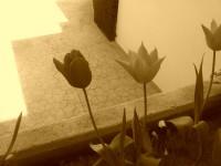 tulipanes-sepia-peq