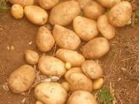 Patatas: contienen almidón
