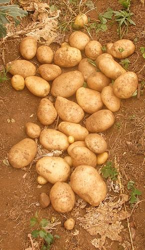 Patatas: tubérculos ricos en almidón