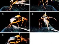 mecanismo-expulsion-escarabajo-bombardero