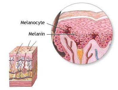 Melanocitos y melanina