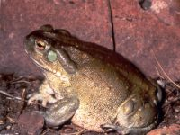 El sapo del desierto sonorense o sapo del río Colorado (Incilius alvarius)